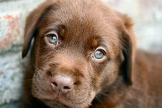 Sweet as chocolate - chocolate brown labrador | Tumblr.