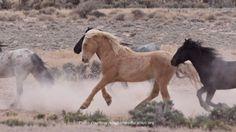 Wild Horses Return to Freedom At Fish Creek