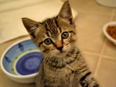 Barney is available - sweet, friendly, confident brown tabby boy kitten ready for a home!