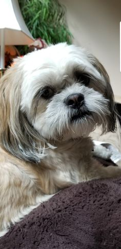 Presley lhasa Lhasa Apso Puppies, Boxer Puppies, Boxer Mix, Bichon Frise, Cute Little Puppies, Cute Puppies, Bernese Mountain, Mountain Dogs, Teddy Bear Dog