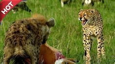 Hyena attack leopard fight to death - Cheetah vs hyena real fight - Amaz...