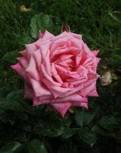 Rosa 'Wedding Bells' (Germany, 2001)