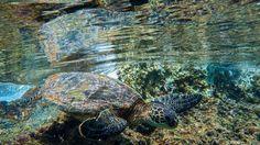 Say Hello to my little friend  Shot on @sonyalpha A7II with @aquatech_imagingsolutions Base housing.  #honu #turtle #mothernature #hilife #hnnsunrise #adventure #minimalism #paradise #aquatech #aquatech_imagingsolutions #sonyalpha #sony #a7ii #adventure #ocean #underwater #instadaily #instamood #instadaily #instagood #exploretocreate #travel #littleplanet  #photooftheday #naturephotography #naturesbeauty #nature_good #natures_hub #ig_oahu #grammasters3 #instatravel #like4like by chau1988