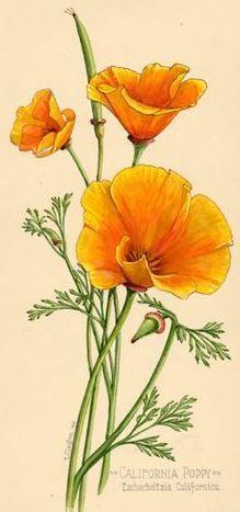 Ernest Clayton | California Poppy