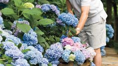 """From planting to pruning and caring in between, here is the ultimate guide for your hydrangeas. Ladies across the South are gaga for hydrangeas. Men are tittering too. """"How do I grow hydrangeas?"""" they implore. """"May I cut my hydrangeas? Can I turn their blooms any color I want?"""" Relax, ladies and gents. Grumpy has come to the rescue."""