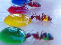The photographer set up a variety of colored water pools and patiently waited until the ants consumed the liquid to show their coloured abdomens. During this mini-experiment, it was also discovered that the ants preferred to drink the lighter-coloured fluid and only moved to the darker green and blue fluids if there was no room at the yellow.
