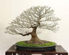 Kokufu Prize, 2012: Slant style Shishigashira Japanese maple   (Acer palmatum)