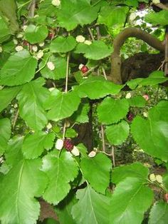 Шелковица красная - Mórus rúbra. Дерево