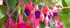 Fuchsia  by butterflybyrob