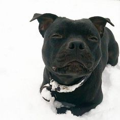 Black staffie