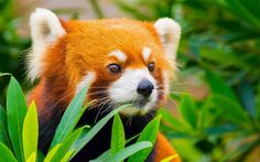Red panda escaped the zoo, took an 8-month vacation  before returning: