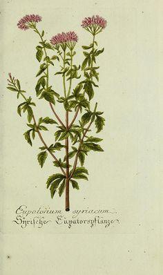 Eupatorium syriacum