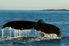 A humpback whale dives in the Bay of Fundy near Brier Island, Nova Scotia. In the background is the picturesque Western Light.