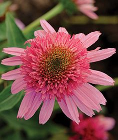 Echinacea, Double Scoop Bubble Gum  A new introduction, with sweet pink bubble gum blooms. Very hardy and heat tolerant.   This delightful, new coneflower has deep pink center cushions of short petals, framed by baby pink, flared ray petals. The lush display evokes sweet, juicy bubble gum. Plant 'Bubble Gum' with Shasta daisies, blue Nepetas and light pink phloxes to lend a soft, restful effect in the full sun summer garden. With its unusual flower, 'Bubble Gum' will quickly become a favorite st