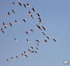 Greater Flamingo, - Greater Flamingo, @Nalsarover, Ahmadabad, Gujrat State, Greater Flamingo, Flamingo