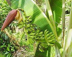 Musa yunnanensis,schnellwüchsige Banane, 5 frische Samen de.picclick.com
