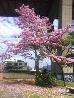 Guayacan tree.