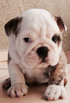 El bulldog o bulldog inglés —en inglés: English Bulldog— es una raza canina originaria de Gran Bretaña, que inicialmente fue utilizada para apostar en peleas de perros durante el siglo XVII, aunque en 1835 esta práctica fue prohibida en Reino Unido. En la actualidad este perro es uno de los símbolos de Inglaterra. Su origen está en el «antiguo perro africano, kelb thal gliet, o perro de toros maltés