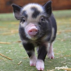 Now 2 weeks old, here are some pictures of micro pig piglets born at Petpiggies… Cute Baby Pigs, Cute Piglets, Cute Little Animals, Cute Funny Animals, Mini Teacup Pigs, Mini Pigs For Sale, Pet Pigs, Cat Dog, Cute Animal Photos