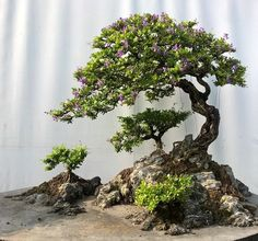 Bonsai styles are different ways of training your bonsai to grow the way you want it to. Get acquainted with these styles which are the basis of bonsai art. Indoor Bonsai Tree, Mini Bonsai, Bonsai Plants, Bonsai Garden, Garden Trees, Bonsai Trees, Unique Plants, Exotic Plants, Ikebana