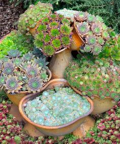 This unique assortment of hens and chicks add appeal with stunning shapes and textures wherever planted. Succulents are a must-have in the modern garden, and this collection gives you exceptional color diversity and the hardiest varieties you can plant. Sempervivum are structurally fascinating, and multiply quickly, producing up to 20 ''chicks'' each year. Use them indoors or out. Perfect for containers, plant between the stones of a stone wall, or create a living piece of art in an old…
