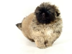 Train your Peke to Roll Over http://www.pekinews.com/pekingese-trick-2-how-to-train-a-dog-to-roll-over/