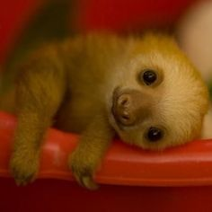 This tiny sloth is beyond cute! This tiny sloth is beyond cute! Cute Creatures, Beautiful Creatures, Animals Beautiful, Cute Baby Animals, Animals And Pets, Funny Animals, Wild Animals, Cute Baby Sloths, Baby Otters