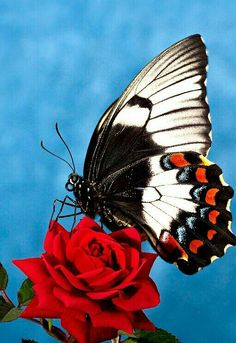 Animals Leonice Pereira The insectes ; Butterfly Effect, Butterfly Kisses, Butterfly Flowers, Beautiful Creatures, Animals Beautiful, Cute Animals, Beautiful Bugs, Beautiful Butterflies, Flora Und Fauna