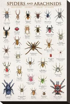 Spiders Arachnids Inch Full Color Wildlife Information Poster by Eurographics No, these are not insects! This beautiful, full color, 24 x 36 inch poster depicts at least 30 Arachnids and suppl Cool Bugs, Beautiful Bugs, Bugs And Insects, Tier Fotos, Stretched Canvas Prints, Fine Art Prints, Animals, Spider Identification Chart, Pet Tarantula