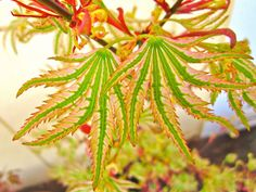 'Higasa yama'An upright-growing tree forming a tall slender V-shape. Slow growing twiggy stems bear two forms of. Deciduous Trees, Trees And Shrubs, Trees To Plant, Plant Leaves, Green Leaves, Japanese Maple Varieties, Dwarf Japanese Maple, Do It Yourself Garten, Bonsai Tree Tattoos