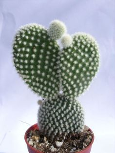 albispina (Angel Wings) is a freely clustering cactus with miniature pads.