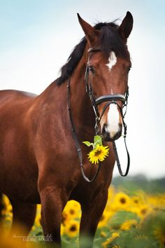 Pearl -Beautiful horse in a field of sunflowers!