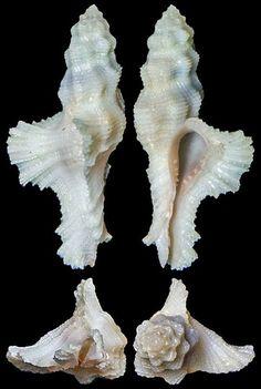 Pterynotus bipinnatus
