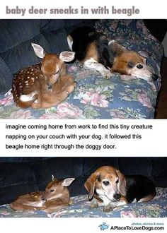 Imagine coming home from work to find this tiny creature napping on your couch with your dog.  It followed this beagle home right through the doggy door.