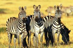 Zebras-Funny-Wallpaper.jpg (1600×1067)