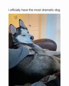 Funny Animal Jokes, Funny Dog Memes, Funny Dog Videos, Funny Animal Pictures, Funny Husky, Husky Meme, Funny Captions, Funny Quotes, Funny Animals With Captions