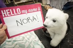 The public has spoken! Following a worldwide online poll, the three-month-old Polar Bear cub born at the Columbus Zoo and Aquarium finally has a name…Nora!  The cub was born November 6 and has garnered global popularity. Check out ZooBorns to learn more! http://www.zooborns.com/zooborns/2016/02/hello-my-name-is.html
