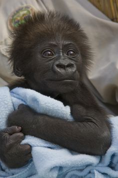 adorable picture of a baby gorilla at san diego zoo how adorable is he