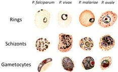 Differentiation of Malaria Parasites