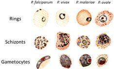 Differentiation of Malaria Parasites
