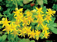 Sedum palmeri Common Name: Palmer's sedum - Deep golden-yellow, star-shaped flowers in spring; drought and shade tolerant; low growing and can be used as a ground cover for small areas; prefers well-drained soils and containers.