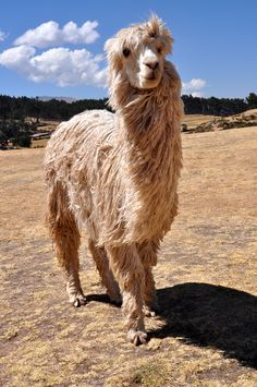 Alpaca in Peru - Definitely seeing these in MARCH! Farm Animals, Animals And Pets, Funny Animals, Cute Animals, Llamas, Beautiful Creatures, Animals Beautiful, Bactrian Camel, Animal Photography
