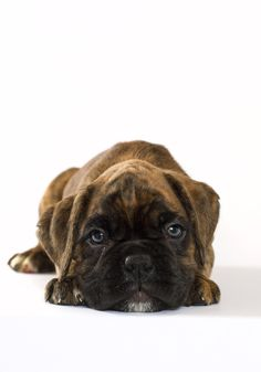 If cuteness could kill by Betina Hansen   Brindle Boxer Puppies bbde45371bebe