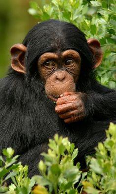 Chimpansee..