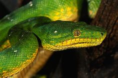 Why pythons and boas look alike For two different families of snake, each has evolved in much the same way according to habitat. Amy Middleton reports.