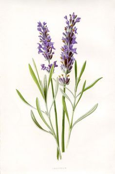 """""""Beautiful Lavender Botanical Printable"""" in 50 Favorite Free Vintage Flower Images - The Graphics Fairy"""