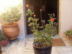 Αρώματα και Γεύσεις ζωής: Πρώτες βοήθειες Plants, Flora, Plant