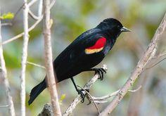 Red-winged Blackbird Feeders