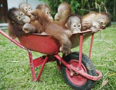 The Orangutan Sanctuary in Borneo really showed me how much danger these fellows are really in. Who would want to poach these cuties, seriously?