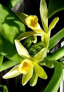 Así sabe México: Vainilla - This beautiful golden orchid has as much flavor as poetry; it flowers in the morning, wither at noon and dies at the sunset if it is not pollinated accidentally by hummingbirds or intentionally by man, this secret gave Mexico the vanilla market monopoly until 1836.